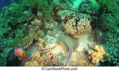 Blue Spotted Stingray on Coral Reef