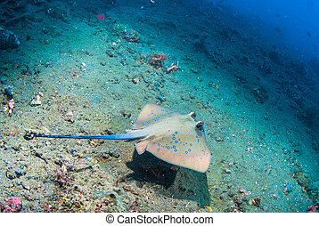 Blue spotted stingray (Taeniura lymma), Bali, Indonesia