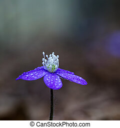 Blue spring flower - Common hepatica closeup with dew drops....