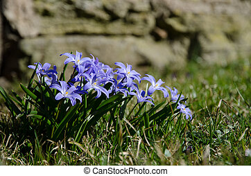 Blue spring flowers group