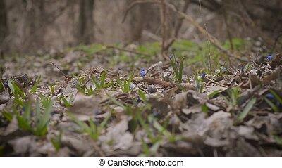 Blue spring snowdrop flowers on a glade - Blue snowdrop...