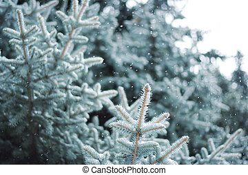 Blue Spruce - A close-up of a blue spruce branches under the...