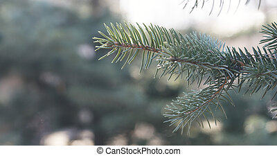 blue spruce branches in spring sunny day closeup