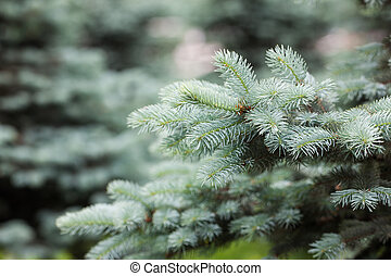 blue spruce close up