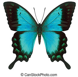 swallowtail butterfly - blue swallowtail butterfly isolated...