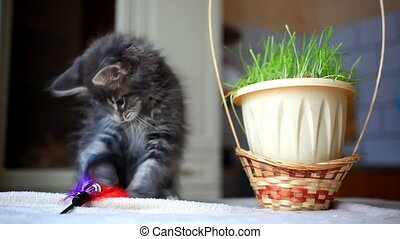 Blue tabby color Maine coon kitten plays at grass. HD. 1920x1080