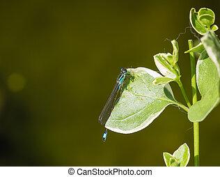 Blue-tailed damselfly or Ischnura elegans sitting on a leaf