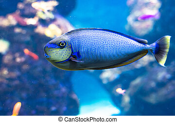 Blue tang fishes and coral reef life. Background and graphic use
