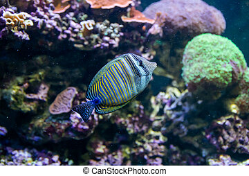 Blue Tang Surgeon Fish - Paracanthurus hepatus. Wonderful and beautiful underwater world with corals and tropical fish.