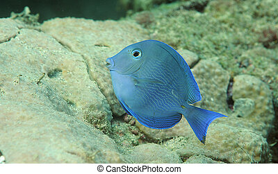 Blue Tang swimming over a coral reef
