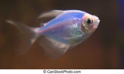 Blue Ternary genetically modified fish in the aquarium. Gymnocorymbus ternetzi. Soft focus.