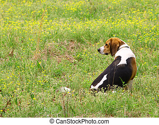 Blue the Hound sitting among the buttercups in a field looking out for his catch with room for your text.