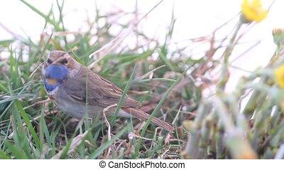 blue-throated, робин