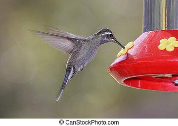 Blue-throated Hummingbird (Lampornis clemenciae)