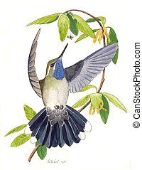 Blue-throated Hummingbird - male Lampornis clemenciae Watercolor