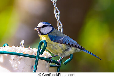 Blue tit bird at a bird feeder