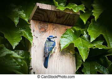 Blue tit by a nesting box