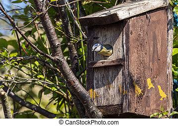 Blue tit (Cyanistes caeruleus) about to leave a bird nest box