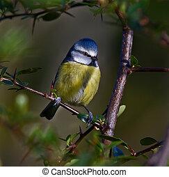 Blue Tit, Cyanistes caeruleus - Blue Tit framed by the...