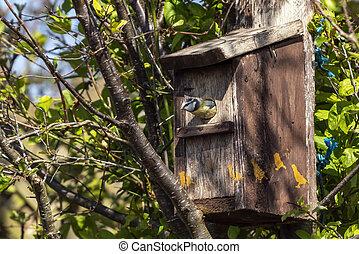 Blue tit (Cyanistes caeruleus) entering a bird nest box