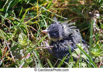 Blue Tit (Cyanistes caeruleus) Fledgling