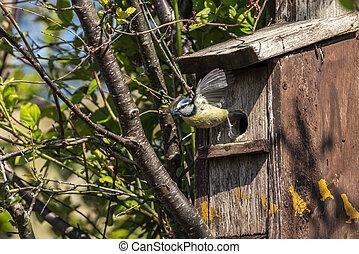 Blue tit (Cyanistes caeruleus) in flight leaving a bird nest box