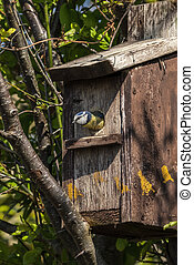 Blue tit (Cyanistes caeruleus) leaving a bird nest box