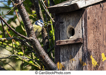 Blue tit (Cyanistes caeruleus) looking at a bird nest box