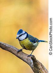 Blue tit (Cyanistes caeruleus) perched on a branch