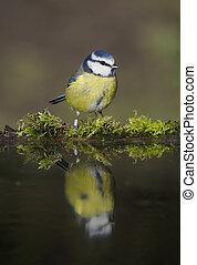 Blue tit, Cyanistes caeruleus, single bird at water, Warwickshire, February 2020