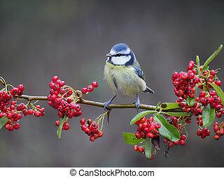 Blue tit, Cyanistes caeruleus, single bird on berries, Warwickshire, December 2020