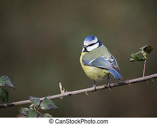 Blue tit, Cyanistes caeruleus, single bird on branch, Warwickshire, February 2021