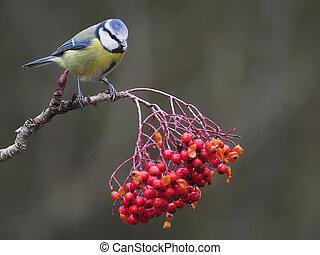 Blue tit, Cyanistes caeruleus, single bird on Rowan berries, warwickshire, December 2020
