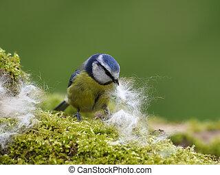 Blue tit, Cyanistes caeruleus, single bird with nest material, Warwickshire, March 2021