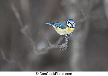 Blue tit, Cyanistes caeruleus sitting on a branch