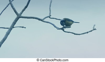 Blue Tit Eating On Branch And Flying Off