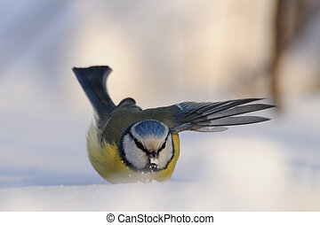Blue Tit flapping wings in snowdrift