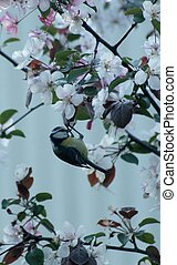 Blue tit in an apple tree - Blue tit in a blooming apple ...