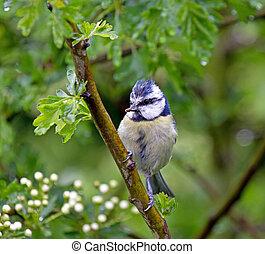 Blue Tit in Hawthorn
