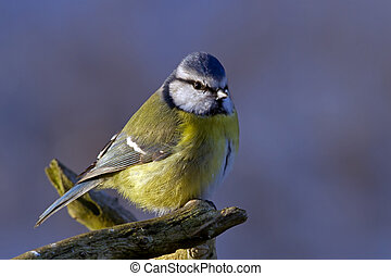 Blue Tit in the blue