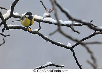 Blue Tit in the snow on a tree brunch