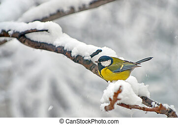 Blue Tit in the snow on a tree