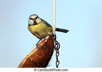blue tit looking at the camera
