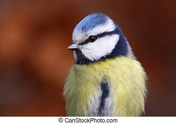 Blue tit near the bird feeder in a Hungarian forest