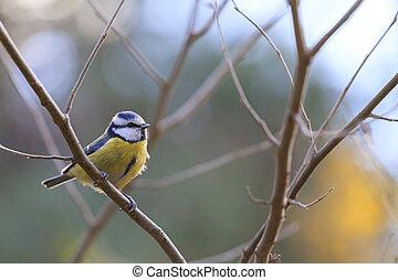 blue tit on a branch