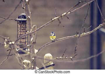 Blue tit on a branch near a birdfeeder in a garden in the...