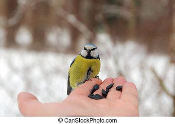 Blue tit on a human palm