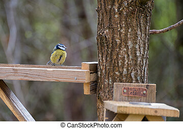 Blue Tit on a wooden table