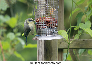 Blue Tit on bird feeder