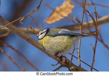 blue tit on branch, parus caeruleus